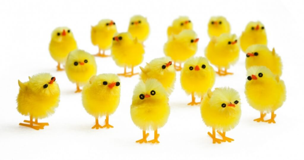 Pack of 18 fluffy chicks, Poundland.
